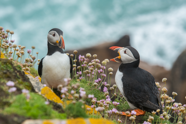 Puffins on Valentia Island, County Kerry