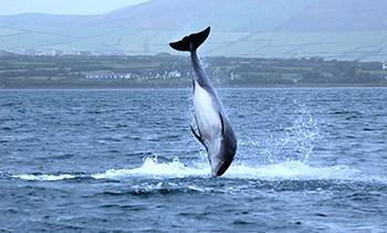 Fungie the Dolphin ireland