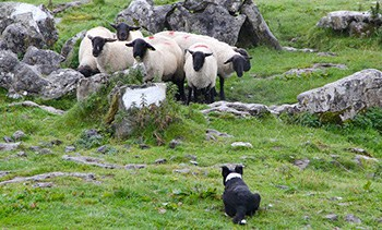 sheepdogs round up mountain sheep.